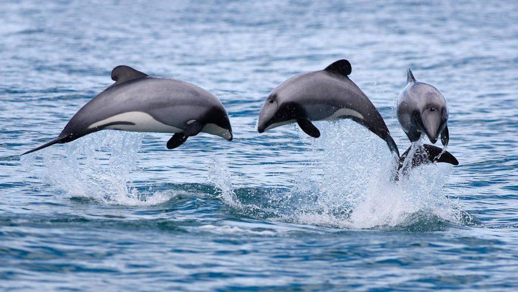 Grupo de delfines de Maui