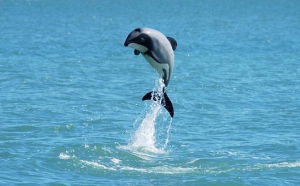 Pequeño delfín de Héctor