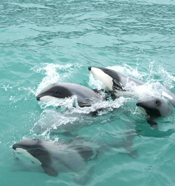 Curioso grupo de delfines de Héctor