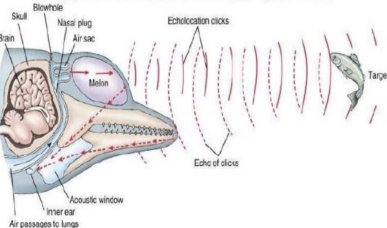 ecolocalización de los delfines