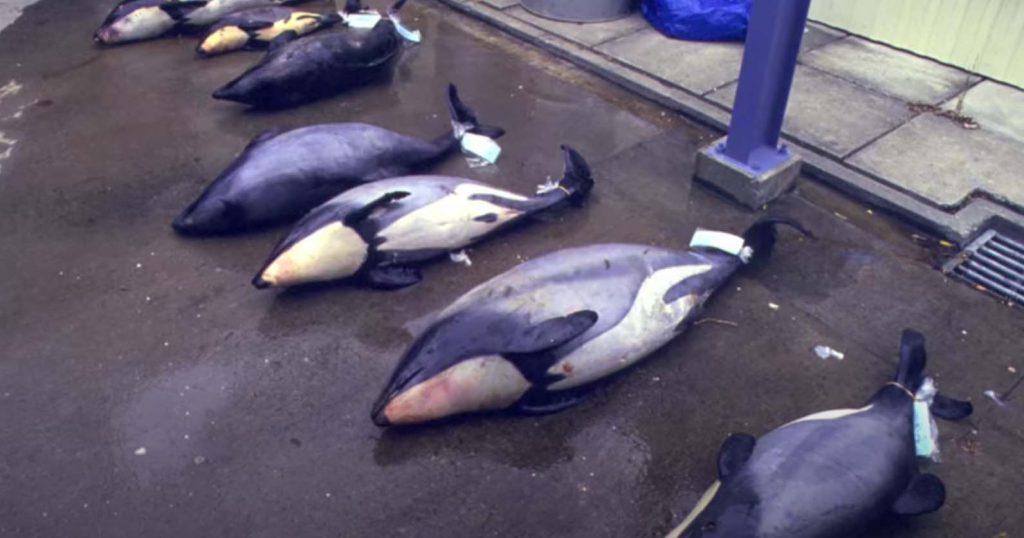 Delfines de Maui al borde de la extinción