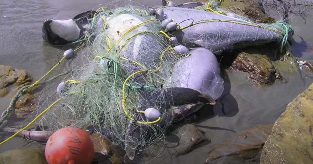 Delfines de Maui muertos en redes de pesca