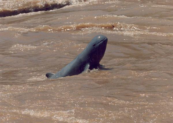 Delfín de Irrawaddy