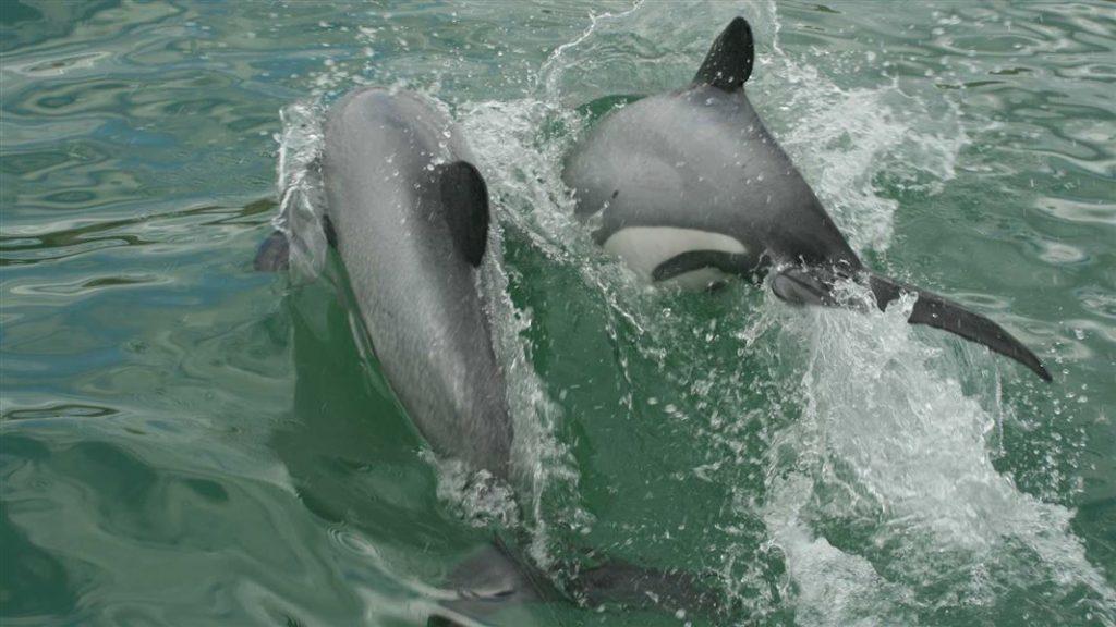 Pareja de delfines de Maui