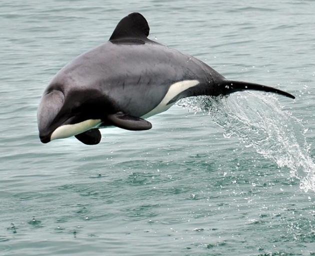 delfín de Māui saltando