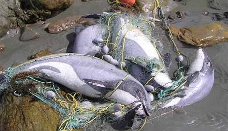 Delfines de Maui muertos por redes de pesca